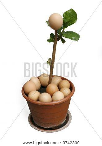 Egg Plant