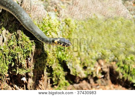Water Snake (Natrix) Crawling On Mossy Wood Log