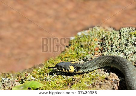 Water Snake (Natrix) Sticking Its Tongue Out