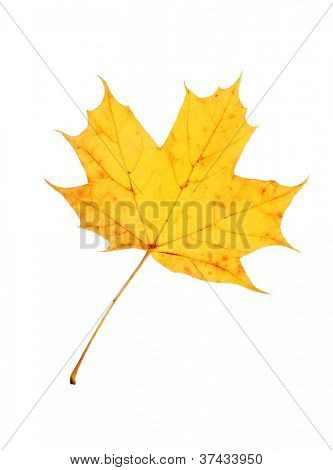 Beautiful autumn maple leave isolated on white background