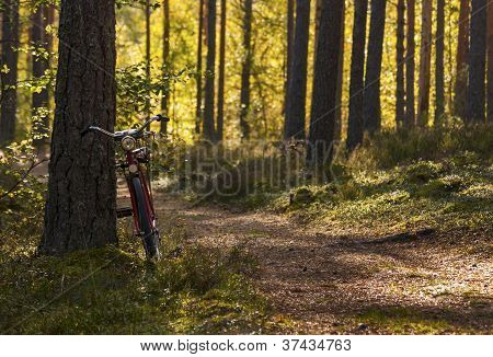 Bicycle Left In Forest To Lean On Pinetree
