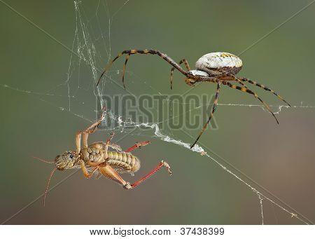 Spider After Hopper