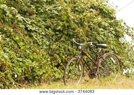 Bike By Blackberries