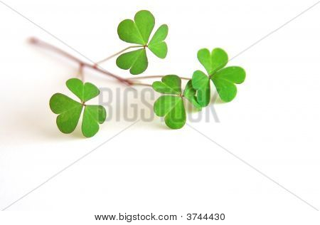 St Patrick\'S Day - Shamrocks
