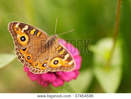 Live insect Australian butterfly Meadow argus