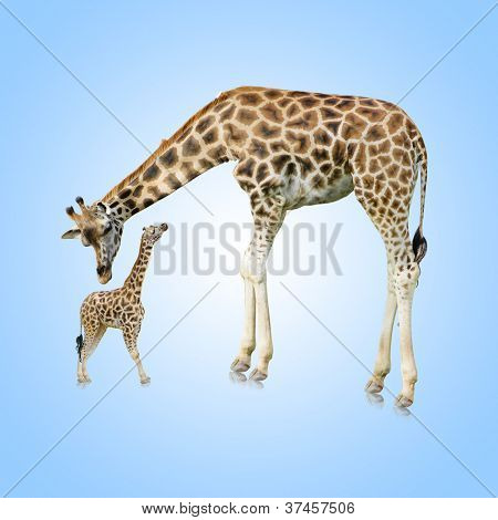 Giraffe And Young One On Blue Background
