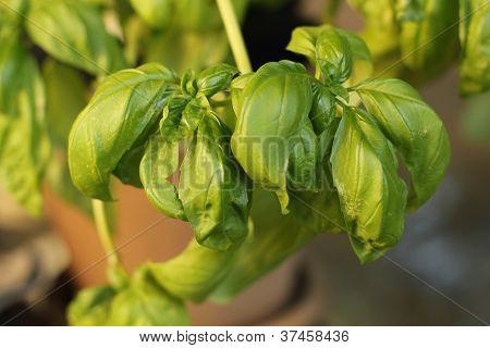fresh basil plant outdoors