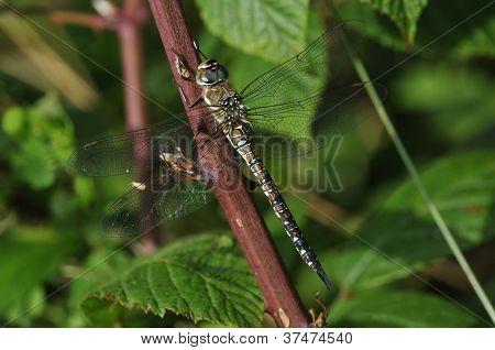 Hawker migrantes libélula