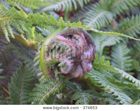 Australian Tree Fern - Furled Frond