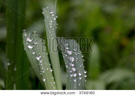 Dew Drops On A Grass