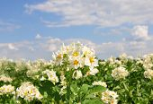 pic of solanum tuberosum  - Colorful and crisp image of potato field - JPG