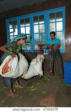 Tea crop weighing on tea factory