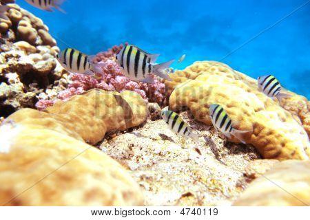 Sergente Maggiore Reef