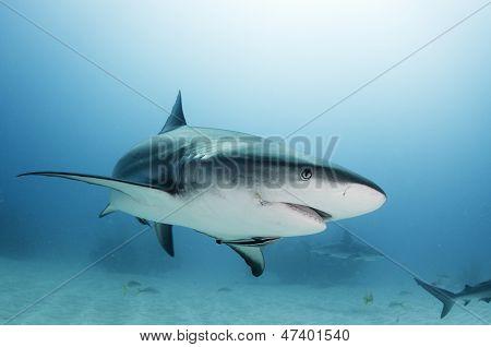 Caribbean reef shark portrait