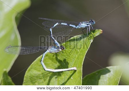 Familiar Bluet Damselflies Mating
