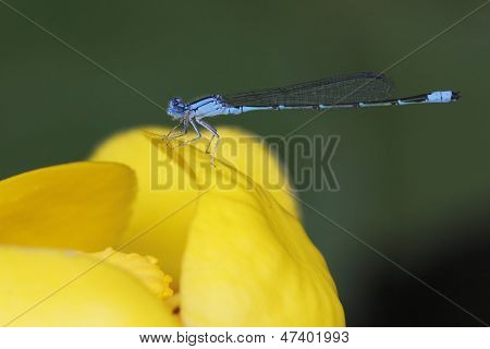 River Bluet Damselfly Perched On A Yellow Pond Lily