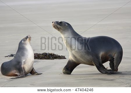 Sea Lions Two
