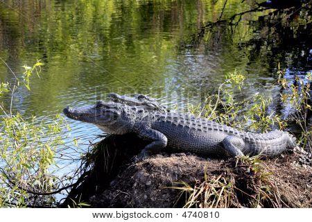 Pair Of American Alligators