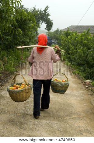 Peach Harvesting