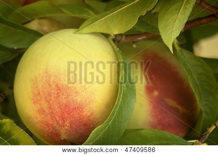 Peach On Bough