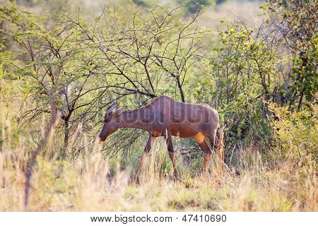Young Red Hartebeest Grazing In Nature Reserve