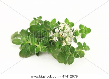 Close up of fresh oregano with flower isolated on white