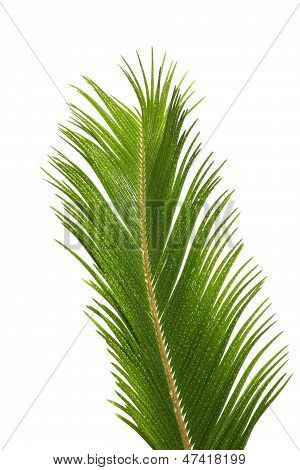 Cacad Leaf