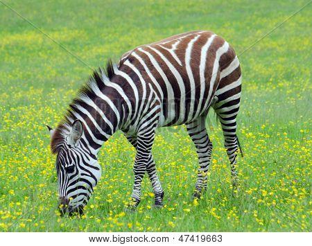 Bolsas Zebra