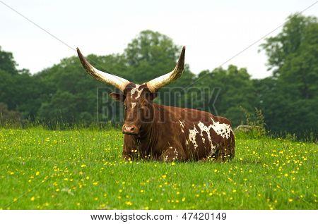 Ankole cow