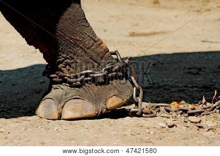 Chained Elephant Foot