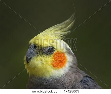 Colorful Cockatiel