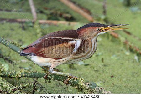 Least Bittern (ixobrychus Exilis)