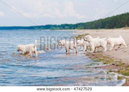golden retriever puppies at the sea