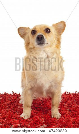 Spitz Dog On Red Carpet
