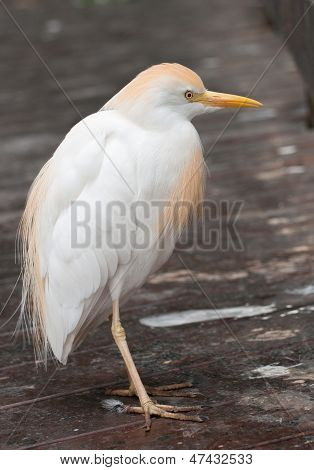 Cattle egret on planked footway