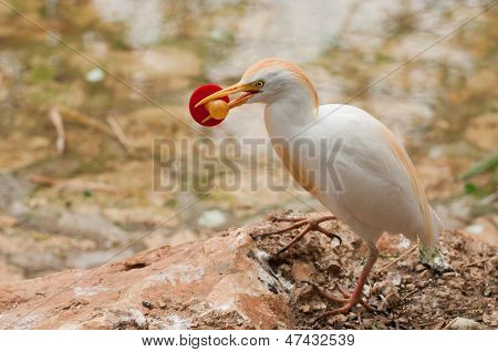 Cattle Egret with a soother in its beak