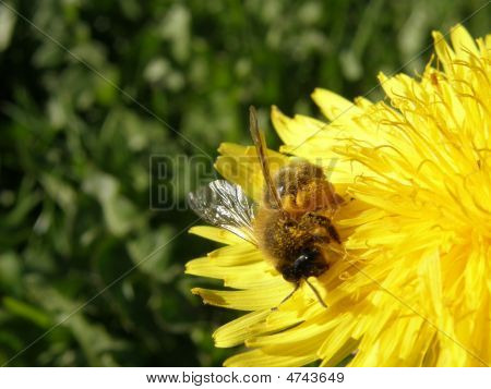 Bee On Dandilion
