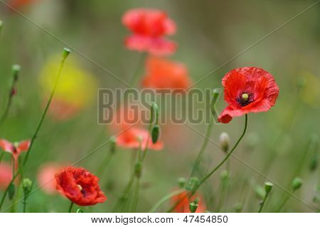 Image with selective focus of a colorful red Corn Poppy or Papaver rhoeas, an agricultural weed that flowers in spring and summer in agricultural cornfields and is often cultivated in the garden