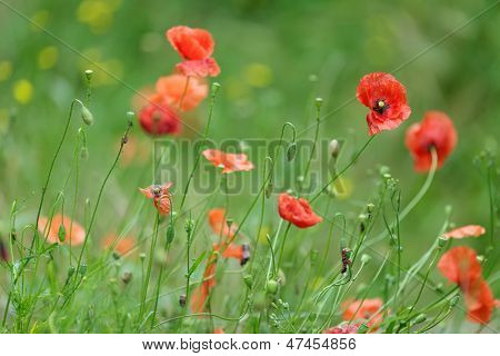 Colorful red Flanders or Corn Poppies , a wildflower that blooms during summer in agricultural cornfields and is associated with Remembrance Day as it flowered in Flanders in wartime