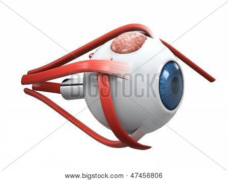 Human Eye Dissection Anatomy