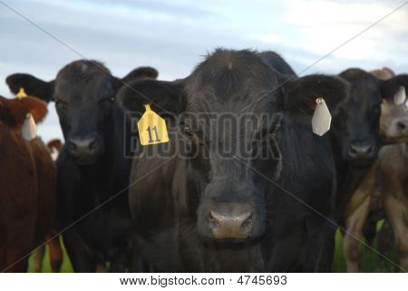 Tagged Cattle