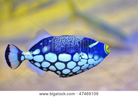 Colorful Butterfly-fish