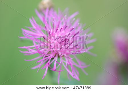 Pink thistle blossom