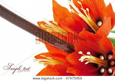 Flower - imperial fritillary. isolated on white background