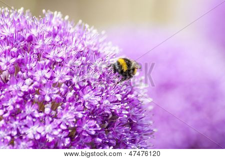 Honey Bee on Violet Allium