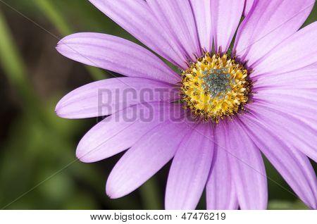 Close Up Osteospermum