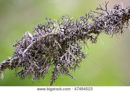 Lichen On An Old Spruce Branch