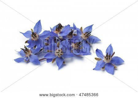 Heap of fresh blue borage flowers for decoration at white background