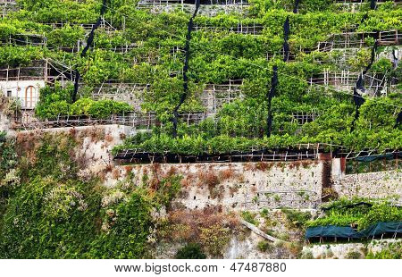 Lemon orchard on the Amalfi Coast, Italy, Europe