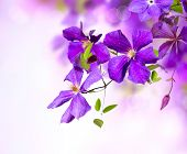 picture of white purple  - Clematis Flower - JPG
